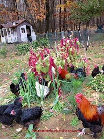 Chickens eating Amaranth in the garden.