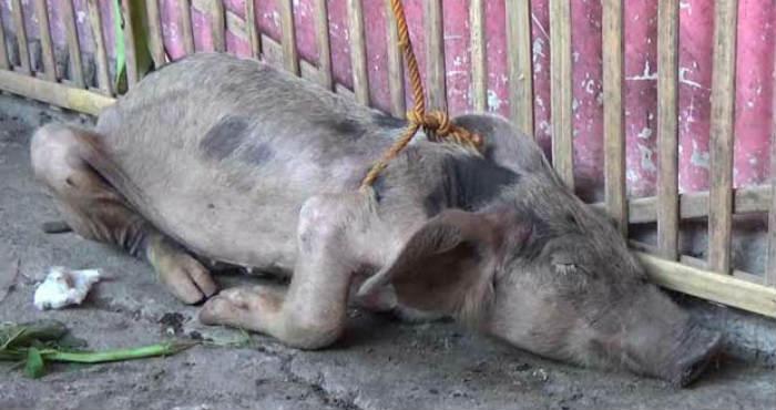 Inilah 5 Kisah Babi Ngepet yang Paling Populer di Indonesia