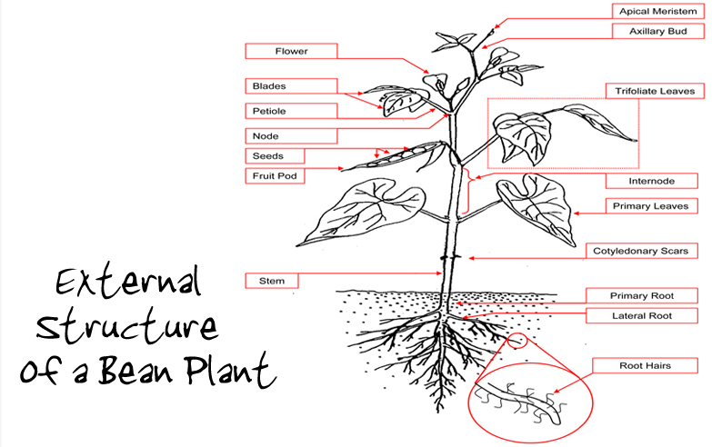 diagram of a bean plant my baby plants: bean-structure and function