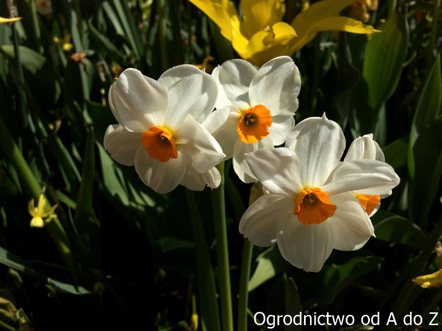Narcyz 'Geranium'