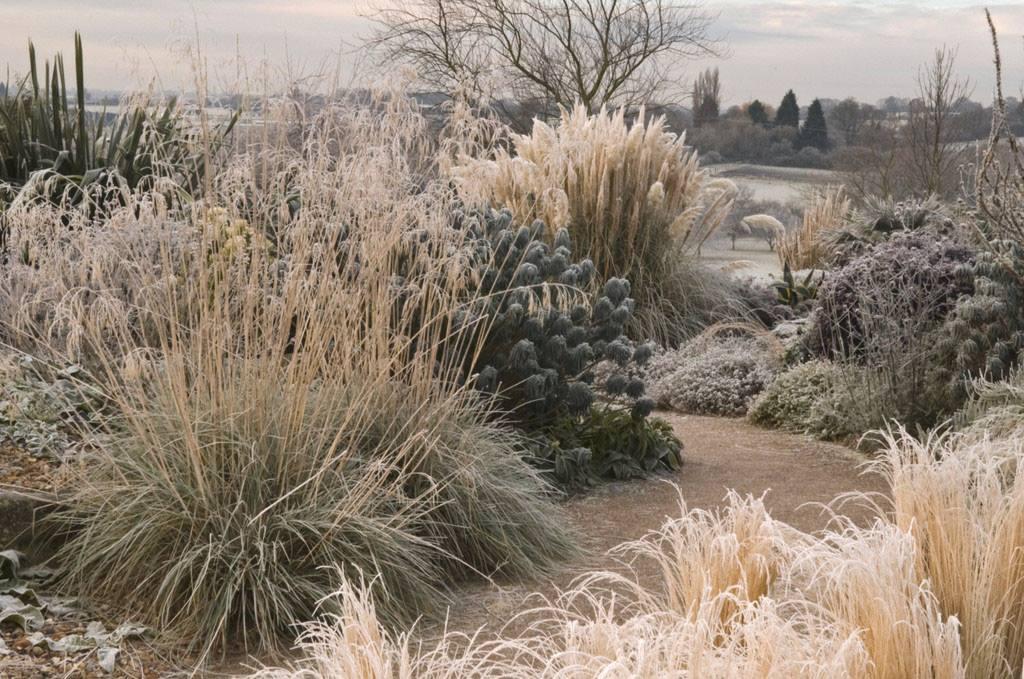 Gramíneas ornamentales en invierno