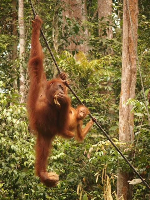 borneo orangutanes