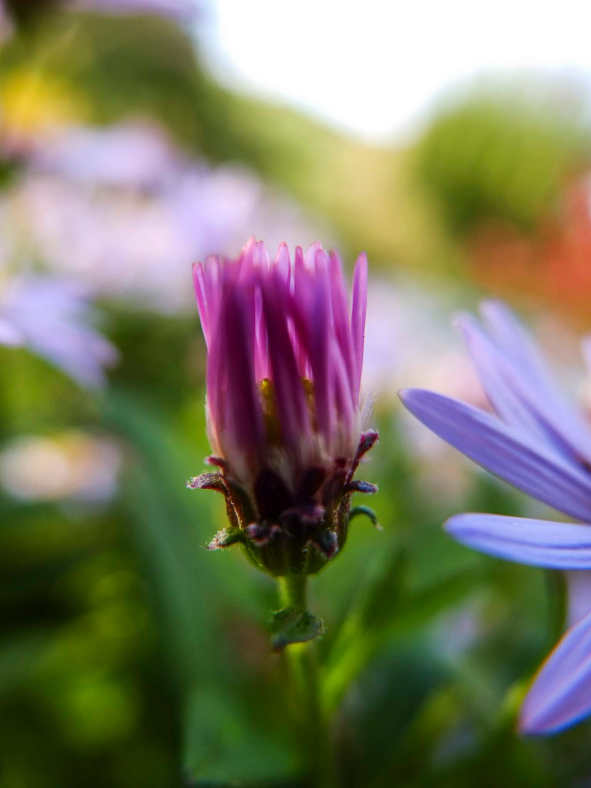 A macro image of a pink Aster flower bud.