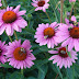 Echinacea Benefits - For Wounds, Colds and Flu