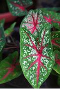 macam macam tanaman hias batang, aneka jenis tanaman hias batang, pengertian tanaman hias batang, nama tanaman hias batang