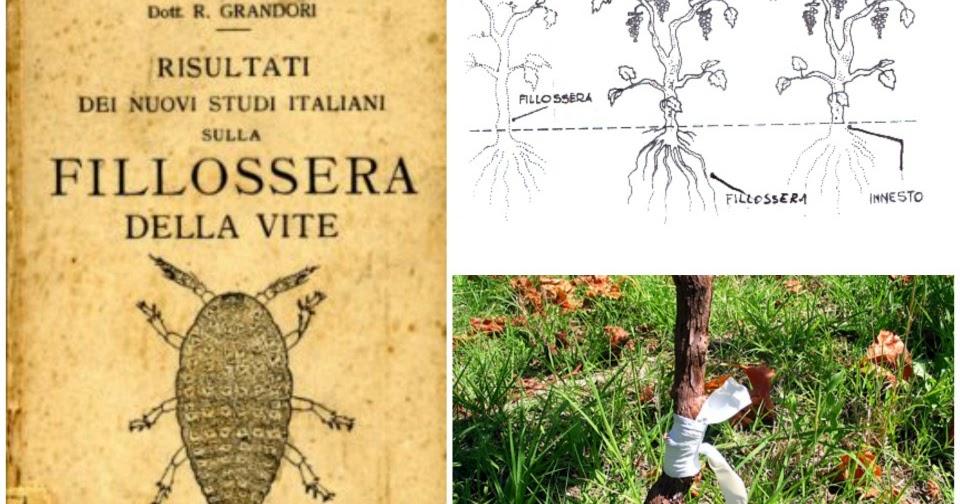 La Vite a piede franco, la Filossera e come riconoscere le viti non innestate