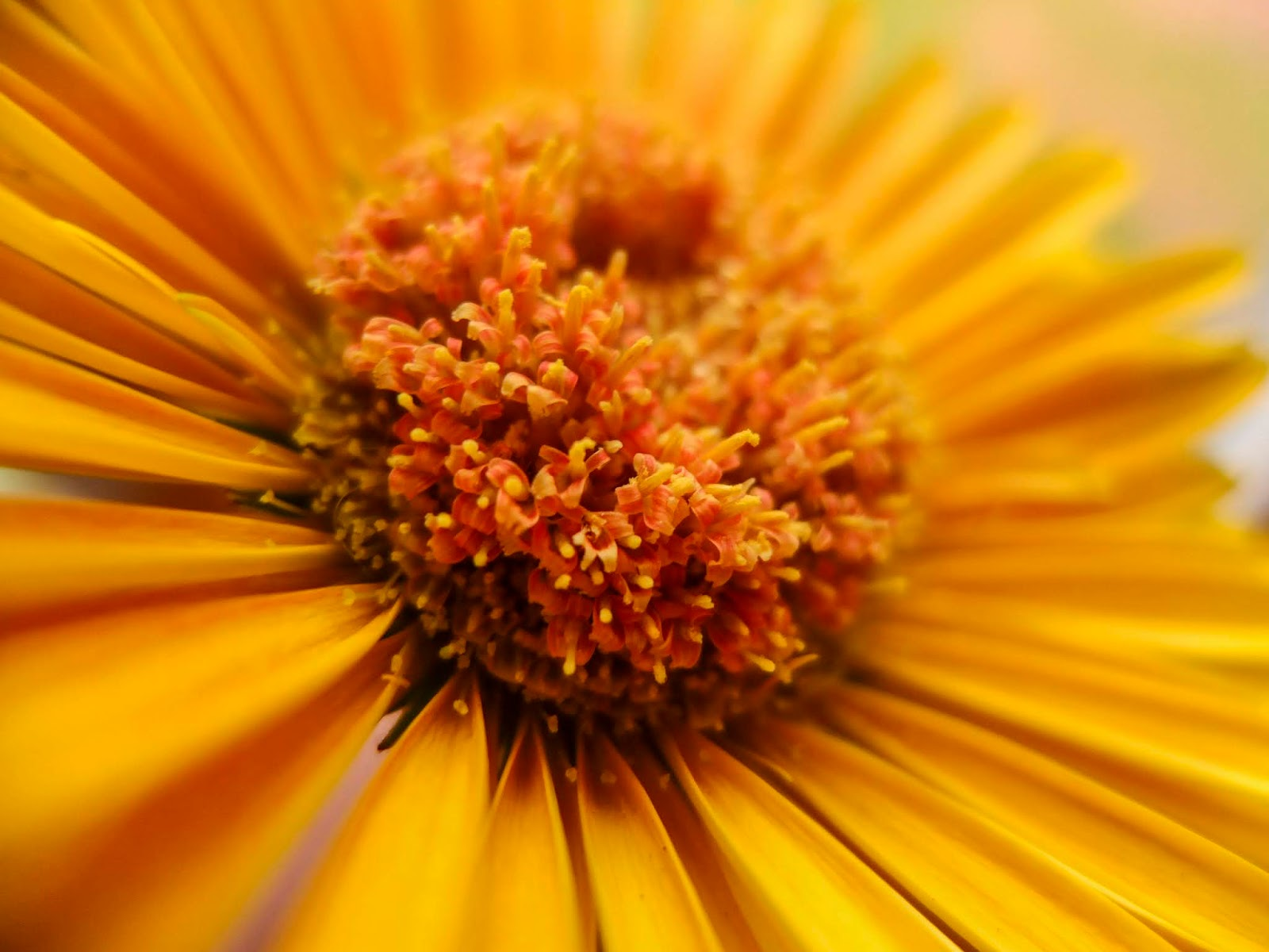 A close up of the center of an orange Gerbera Daisy.