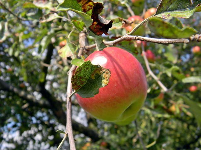 różowate, drzewo, owoce, jabłoń