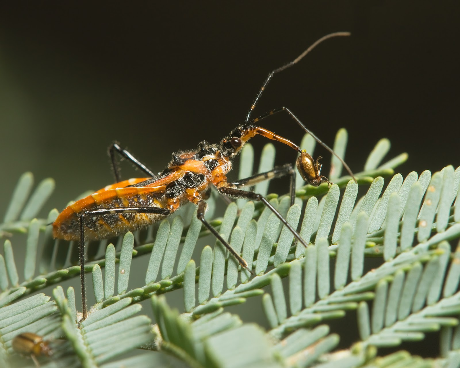 Insects: Gminatus australis with Beetle