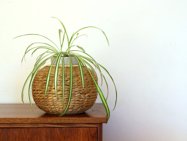spider plant indoor plant