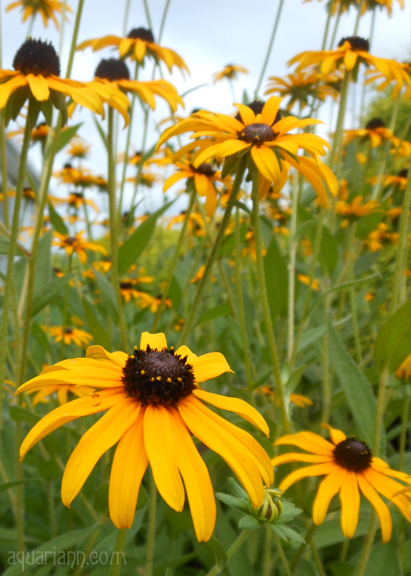 Black Eyed Susans Photo by Aquariann