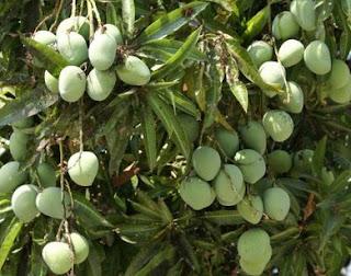 buah mangga agar cepat berbuah