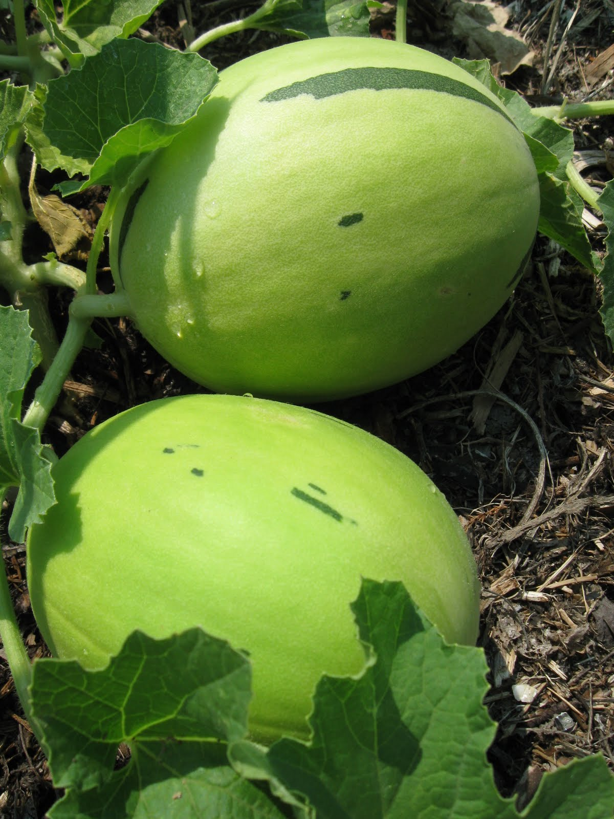 How Big Vines Do Get Honeydew