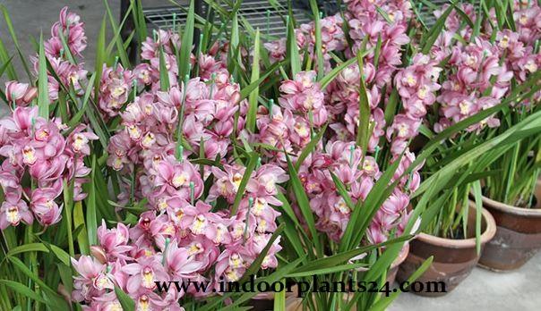 Cymbidium Hybrids Orchidaceae plant