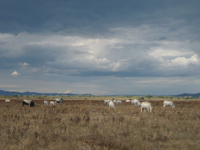 Grazing Cows in the Maremma National Park in Southern Tuscany