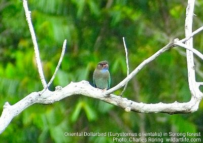 Birding tour in Ridge Forest of Sorong city organized by Charles Roring