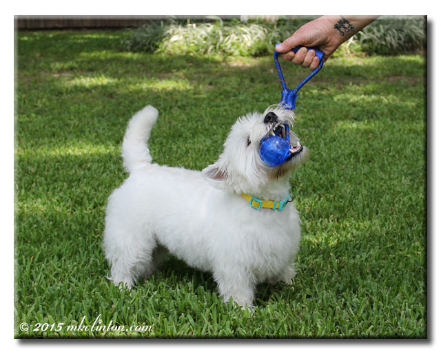 White West Highland Terrier playing with blue Kong toy