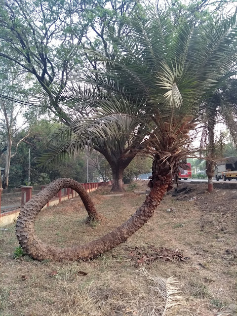 Palm, Unusual tree, Pune