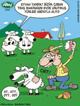 sütaş karikatür çoban yünleri ağda ile alıyor