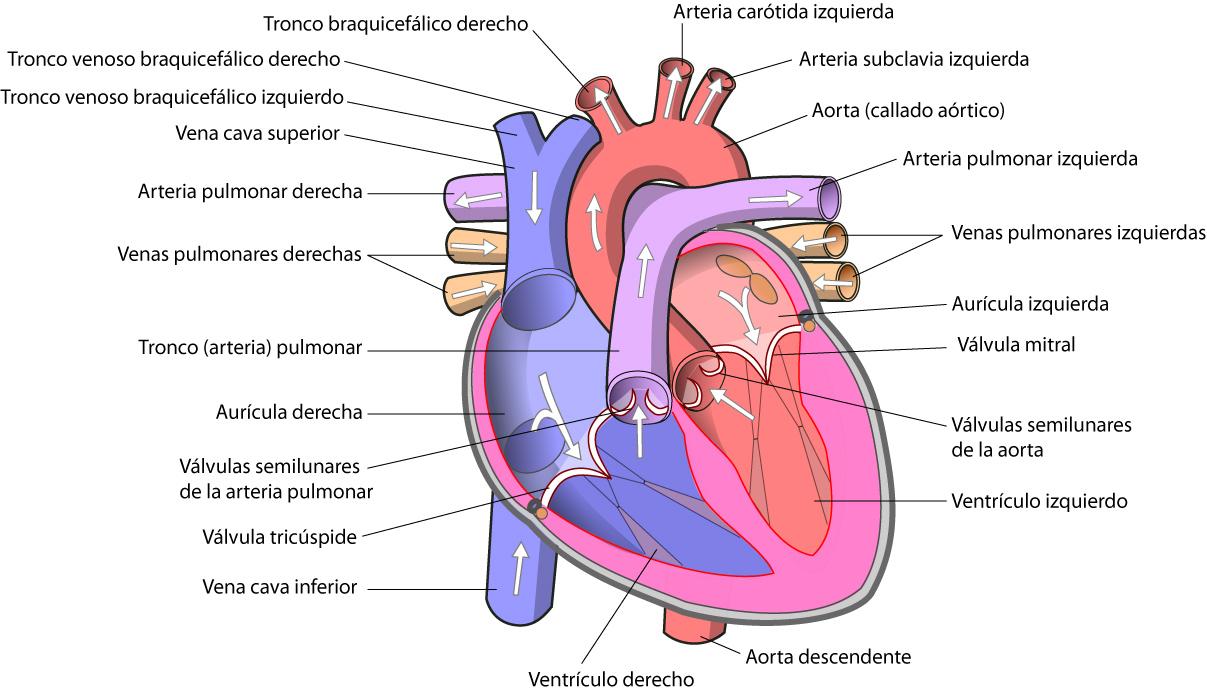Fantástico Anatomía Y Fisiología Del Corazón Become Cresta ...