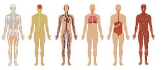 Sistemas da Fisiologia Humana