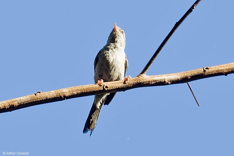 Pássaro Acrobata (Acrobatornis fonsecai)