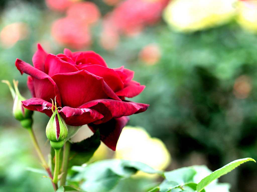 Red rose flower flower hd wallpapers images pictures - Red flower desktop wallpaper ...