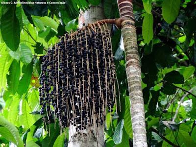 Açaí, açaí do Pará, tentação da Amazônia, Pará, euterpe, euterpe olareace, sementes de açaí, pé de açaí, Amazônia, açaí com peixe, açaí com farinha, açaí com tapioca, açaí com açúcar, açaizeiro, açaí é saúde, natureza, aves, aves que comem açaí, açaí da Amazônia, comprar açaí, comprar sementes de açaí, plantar açaí