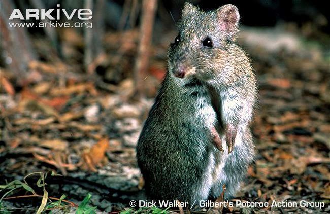 endangered australian Potoroos