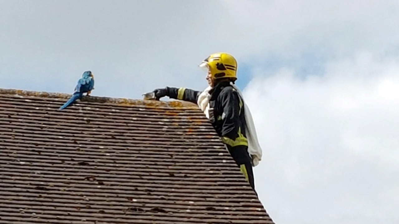 Hilarious Footage Shows Parrot Trapped On Roof Telling Rescue Crews To F**k Off