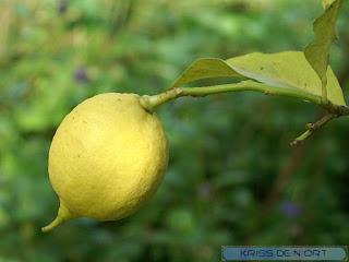 Citrus limon - Citronnier - Citron