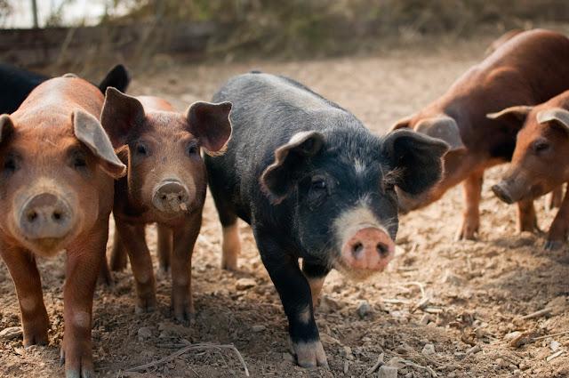 Haitian pigs