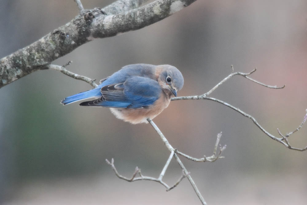 bluebird in dogwood tree