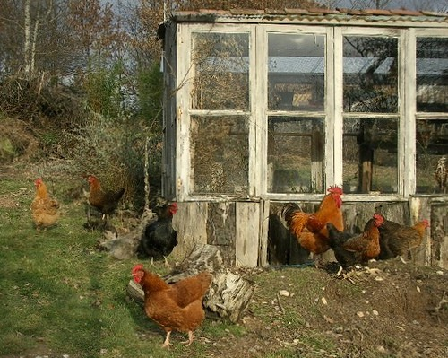 Chickory Shed And Chicken Fancy
