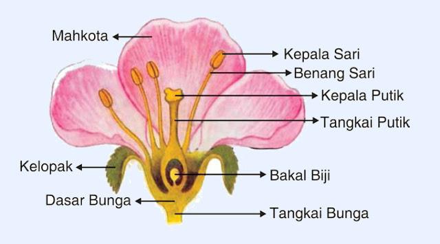 Bagian Bagian Bunga dan Fungsinya, Bagian Bunga, Fungsi Bunga