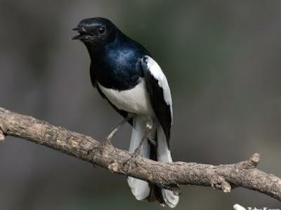 Tips Cara Jitu Perawatan Burung Kacer Cepat Gacor