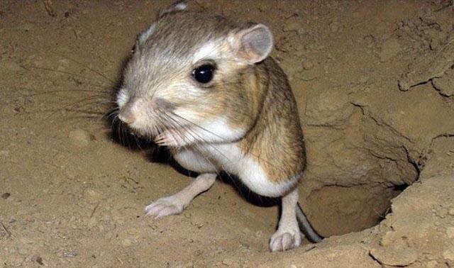 Tikus-kanguru