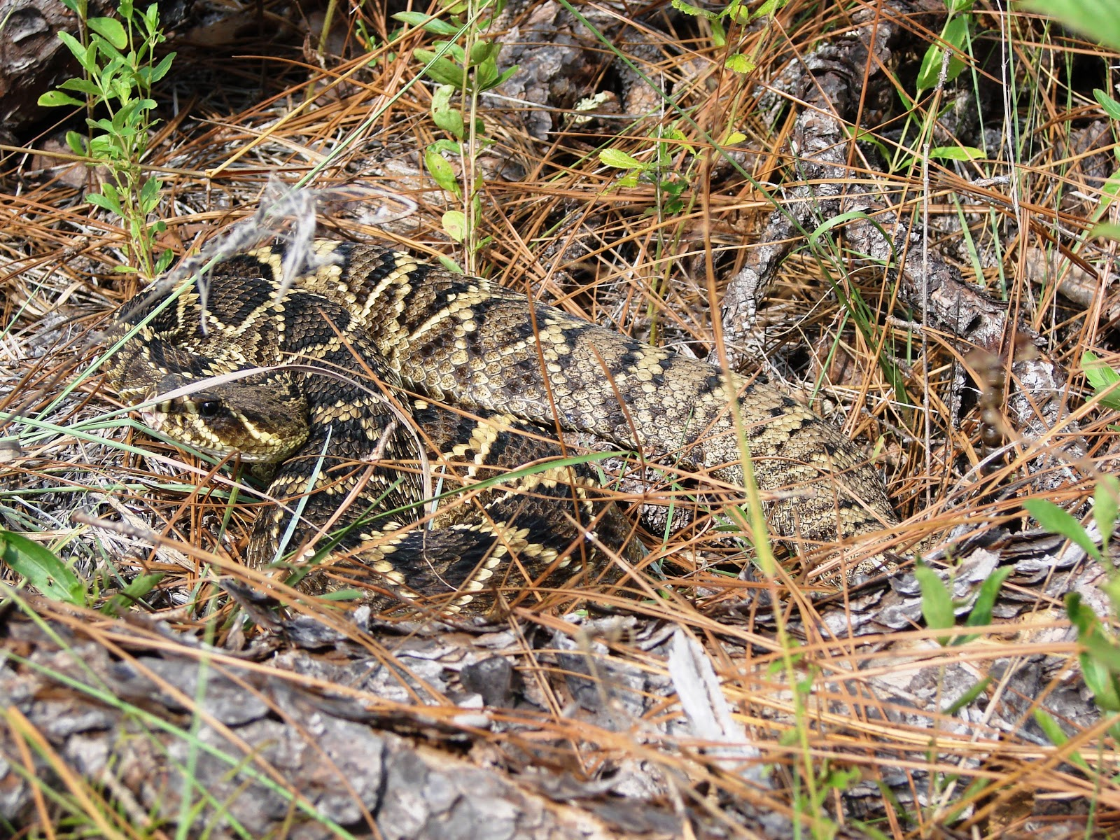Diamondback Rattler West Palm Beach Florida