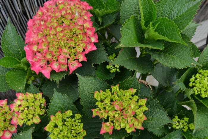 Penthouse Terrace Oasis Hydrangea + 10 Best Container Plants For Rooftop Gardening