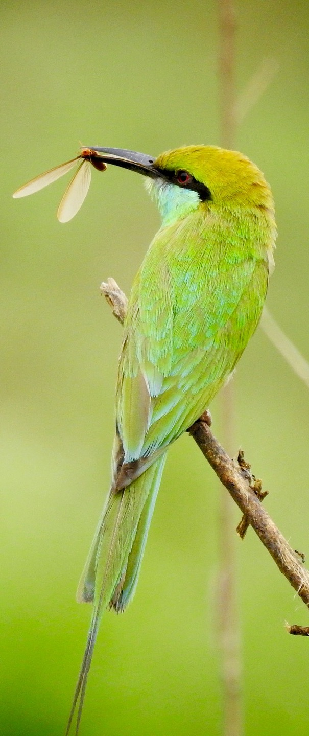 A green bird with a fresh insect catch.
