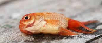 japon balığı ölmek üzere