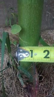 1 1/4 in stem diameter Kenaf