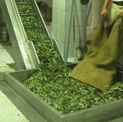 Čišćenje maslina od lišća