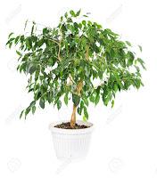 Indoor Ficus Tree Plant Care