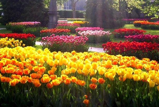 Грядки из тюльпанов