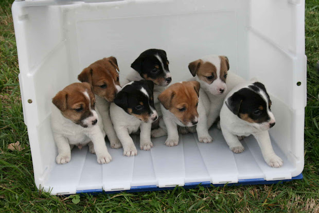 20+ Jack Russell Terrier Breeders South African Association Pictures