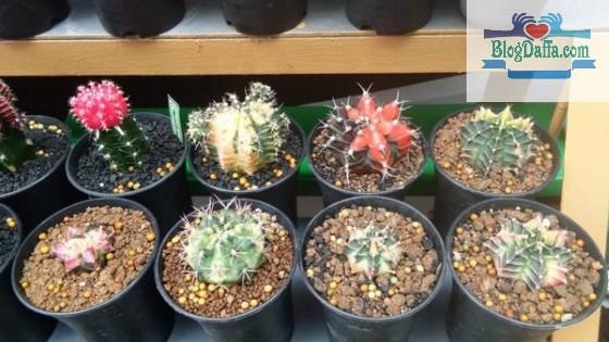 Pupuk terbaik untuk kaktus dan sekulen