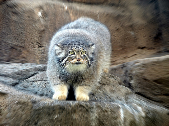 Manul the cat that time forgot the ark in space image credit flickr user muzinashanghai publicscrutiny Images