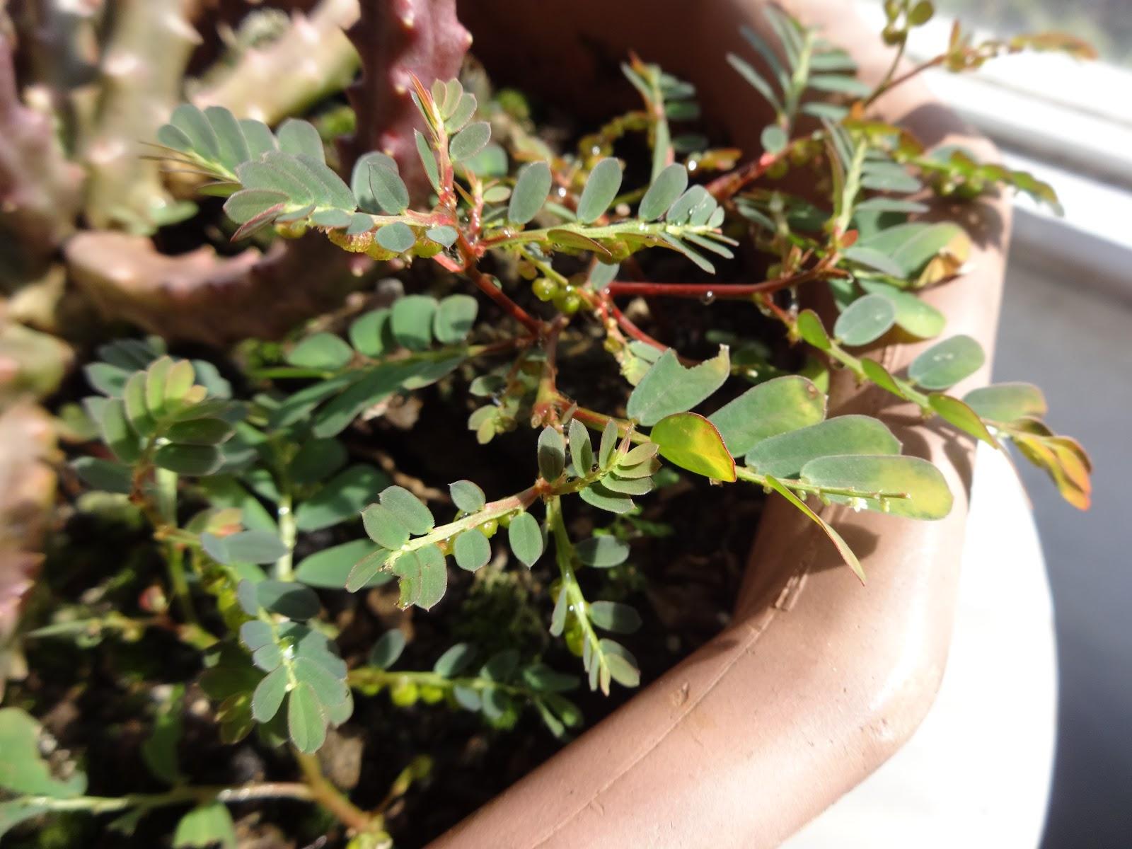 Phyllanthus niruri medicinal study