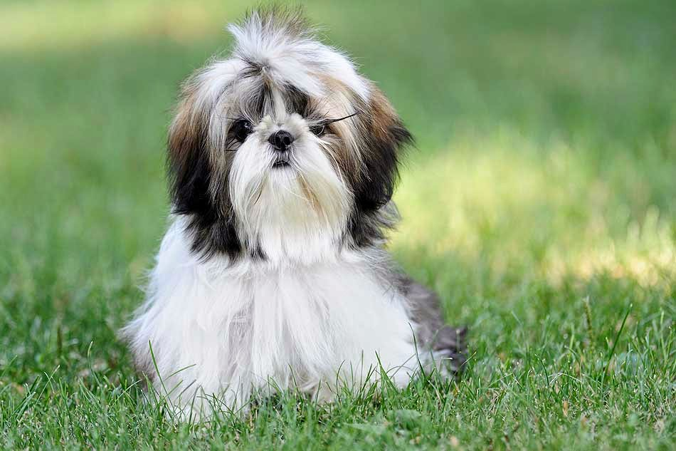 A que edad levanta un cachorro la pata para mear? - Perros